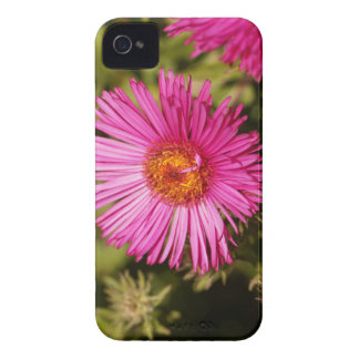 Flower of a New England aster Case-Mate iPhone 4 Cases