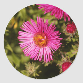 Flower of a New England aster Classic Round Sticker