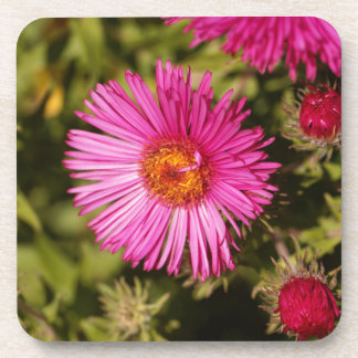 Flower of a New England aster Coaster
