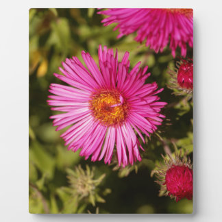 Flower of a New England aster Plaque
