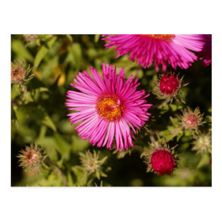 Flower of a New England aster Postcard