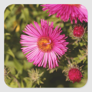 Flower of a New England aster Square Sticker