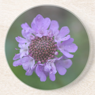 Flower of a Scabiosa lucida Coaster