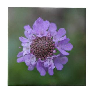 Flower of a Scabiosa lucida Tile