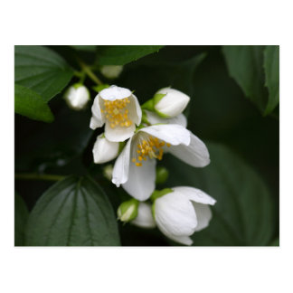 Flower of an English dogwood bush Postcard