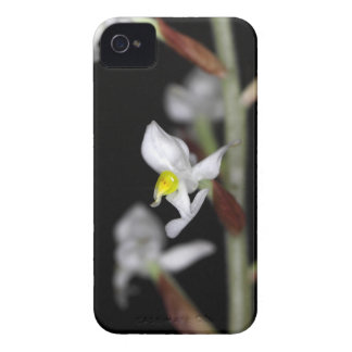 Flower of the orchid Ludisia discolor iPhone 4 Covers