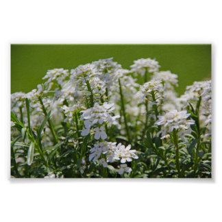Flower Photography - Candy Tuft - Green and White Poster