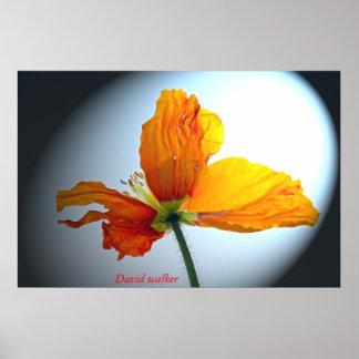 Flower - poppy poster