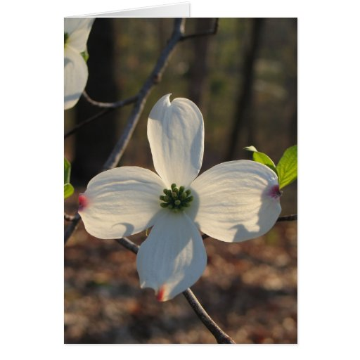 Flowering Dogwood - Customized2 Cards