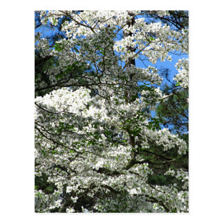 Flowering Dogwood Postcard