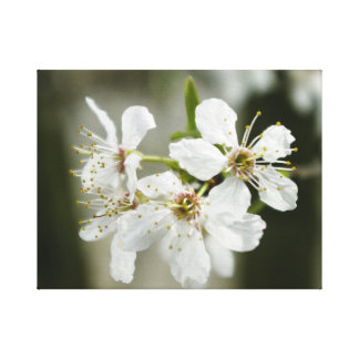 Flowering Dogwood Stretched Canvas Print