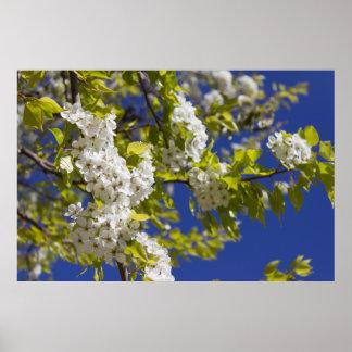 Flowering Pear Tree Poster