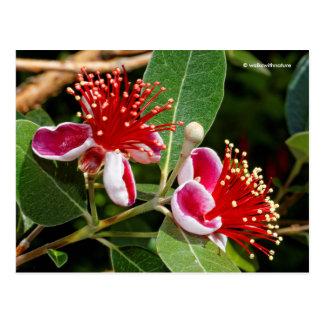 Flowering Pineapple Guava / Guavasteen Postcard