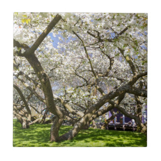 Flowering trees with white blossom in spring tile