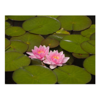 Flowering water lilies post card