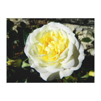 Flowers beautiful white rose canvas prints
