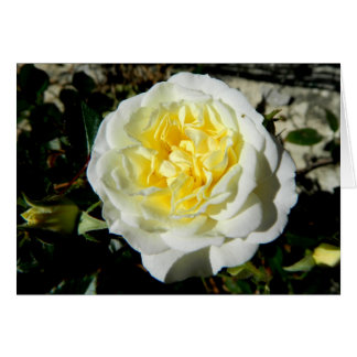 Flowers beautiful white rose greeting card