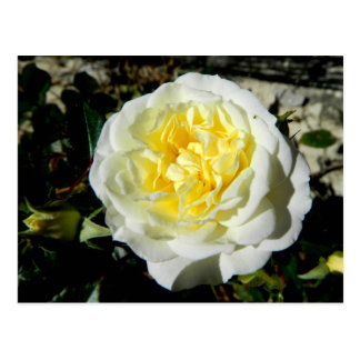 Flowers beautiful white rose postcard