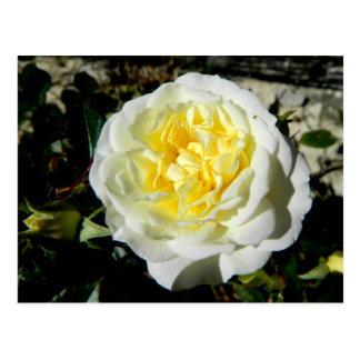 Flowers beautiful white rose postcard
