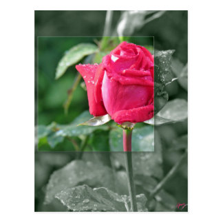 Flowers by the Lake - Red Rose Bud Postcard