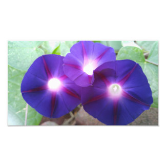 FLOWERS-MORNING GLORIES PHOTO PRINT