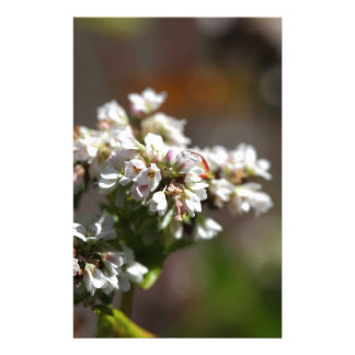 Flowers of a Buckwheat plant (Fagopyrum esculentum Stationery