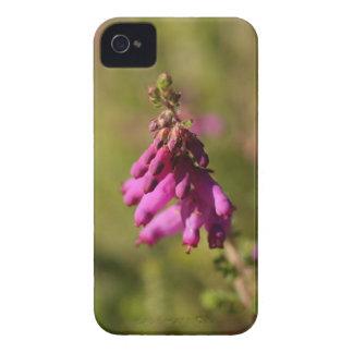 Flowers of a Dorset heath (Erica cilaris) iPhone 4 Covers
