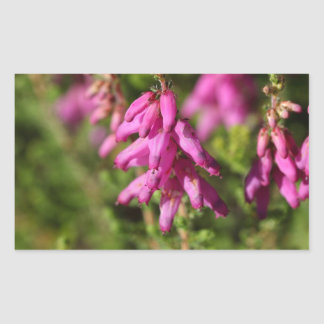 Flowers of a Dorset heath (Erica cilaris) Rectangular Sticker