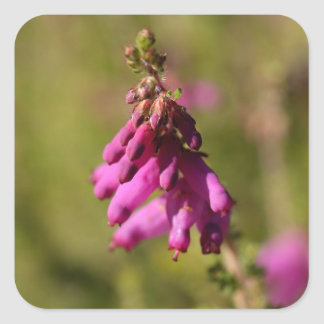 Flowers of a Dorset heath (Erica cilaris) Square Sticker