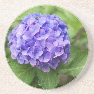 Flowers of a French hydrangea (Hydrangea macrophyl Coaster