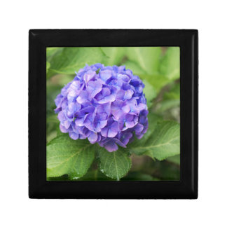 Flowers of a French hydrangea (Hydrangea macrophyl Gift Box