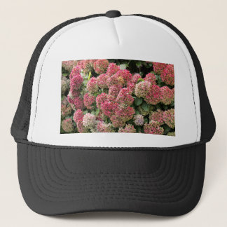 Flowers of a French hydrangea (Hydrangea macrophyl Trucker Hat