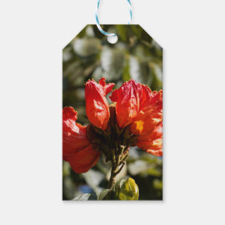 Flowers of an African tuliptree Gift Tags