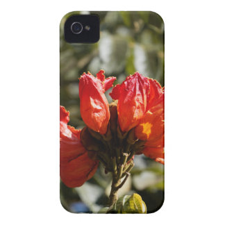 Flowers of an African tuliptree iPhone 4 Cases
