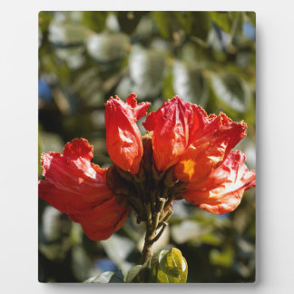 Flowers of an African tuliptree Plaque