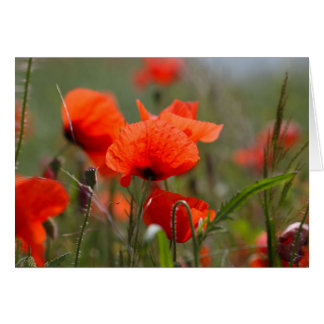 Flowers of common poppy in a field. card