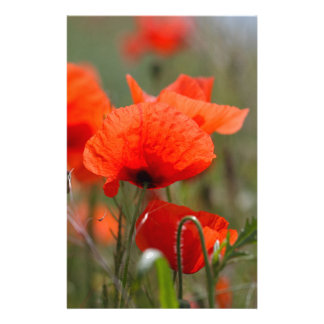 Flowers of common poppy in a field. customised stationery