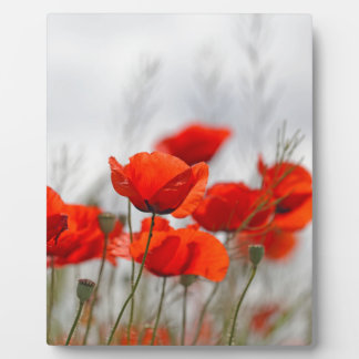 Flowers of common poppy in a field. display plaque
