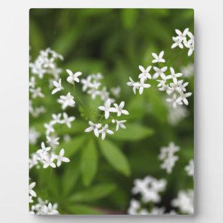 Flowers of sweetscented bedstraw (Galium odoratum) Plaque