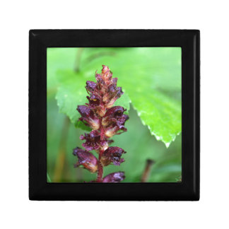 Flowers of the broomrape Orobanche gracilis Gift Box