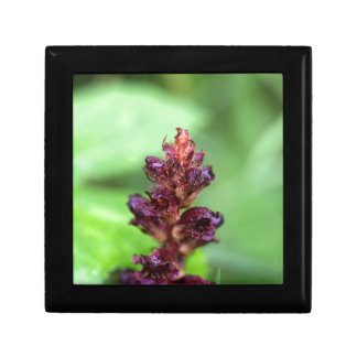 Flowers of the broomrape Orobanche gracilis Small Square Gift Box