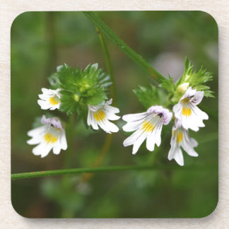 Flowers of the Eyebright Euphrasia rostkoviana Coaster