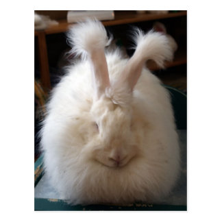 Fluffy Angora Bunny Postcard