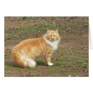 Fluffy Orange and White Kitty Card