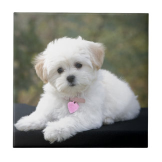 Fluffy White Dog Small Square Tile