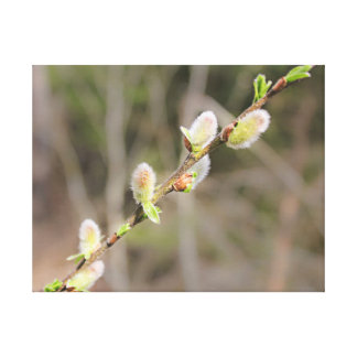 Fluffy willow branch. canvas print