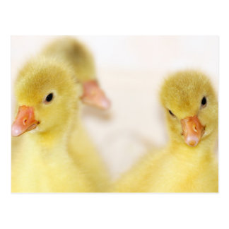 Fluffy Yellow Ducklings Postcard