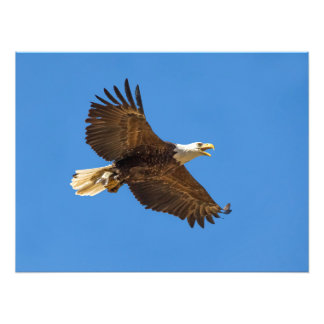 Flying Bald Eagle with Fish Photo Print