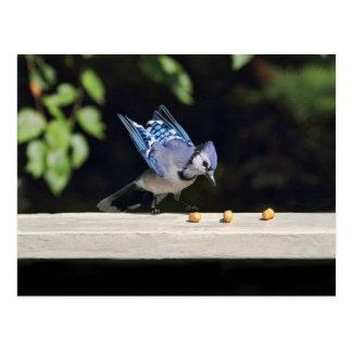 Flying Blue Jay Photo Postcard