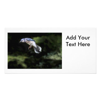 Flying Blue Jay Photo Cards